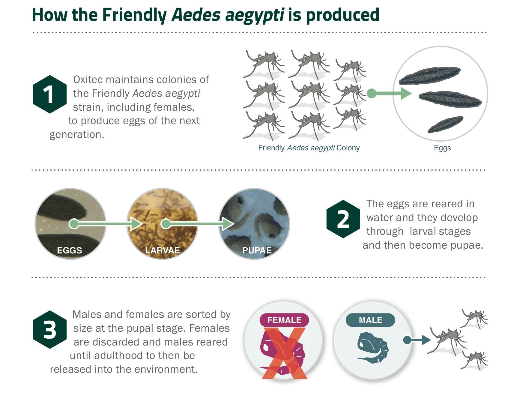 Aedes-aegypti-01