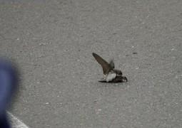 aves-acasalando-apos-morte