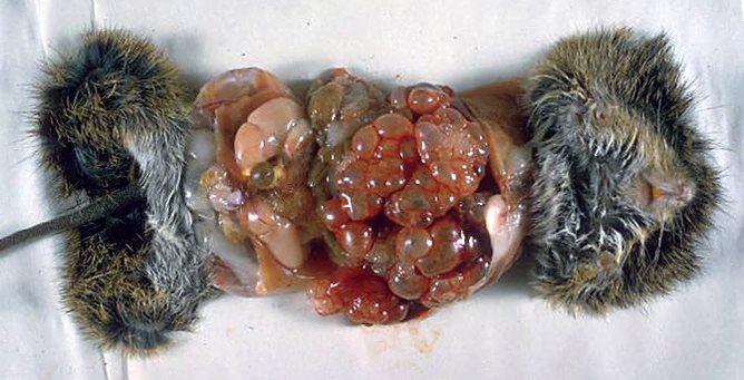 Echinococcus-multilocularis
