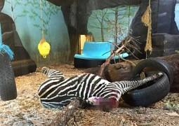 zebra-decapitada-no-zoologico