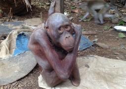 orangotando-mais-triste-do-mundo_01