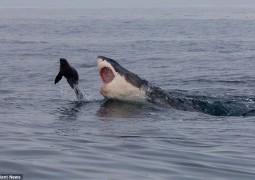tubarao-branco-tentando-comer-foca