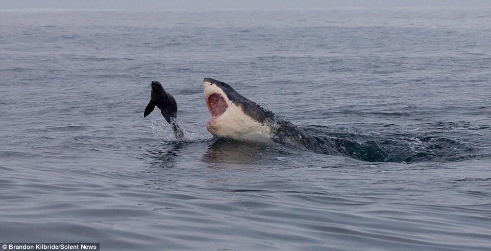Foca escapa da morte pulando para longe do ataque de um tubarão branco