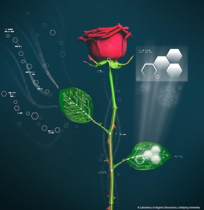 Pesquisadores suecos criam rosas capazes de mudar de cor instantaneamente