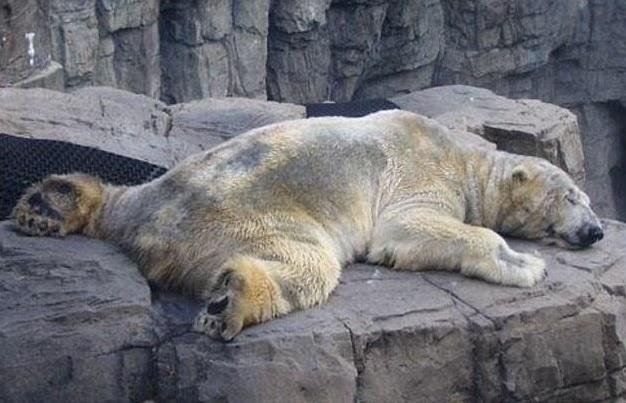 """Arturo, O Urso Polar """"mais Triste Do Mundo"""" Morre Aos 30"""