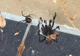 briga-mortal-entre-aranhas