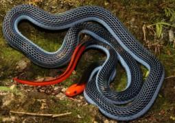 cobra-coral-azul-da-malasia