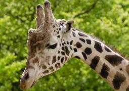 silenciosa-extincao-das-girafas_01