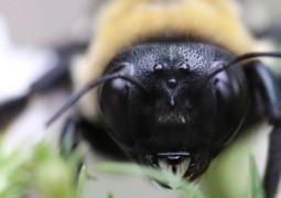 australia-abelha-mais-perigosa-que-cobras