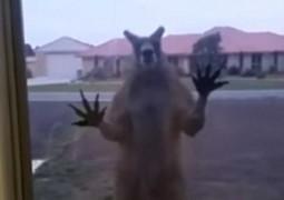 canguru-australia