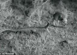 cascavel-atacando-roedor-em-camera-lenta