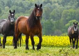 cavalos 01_