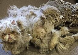 este-gato-carregava-metade-do-seu-peso-em-pelos