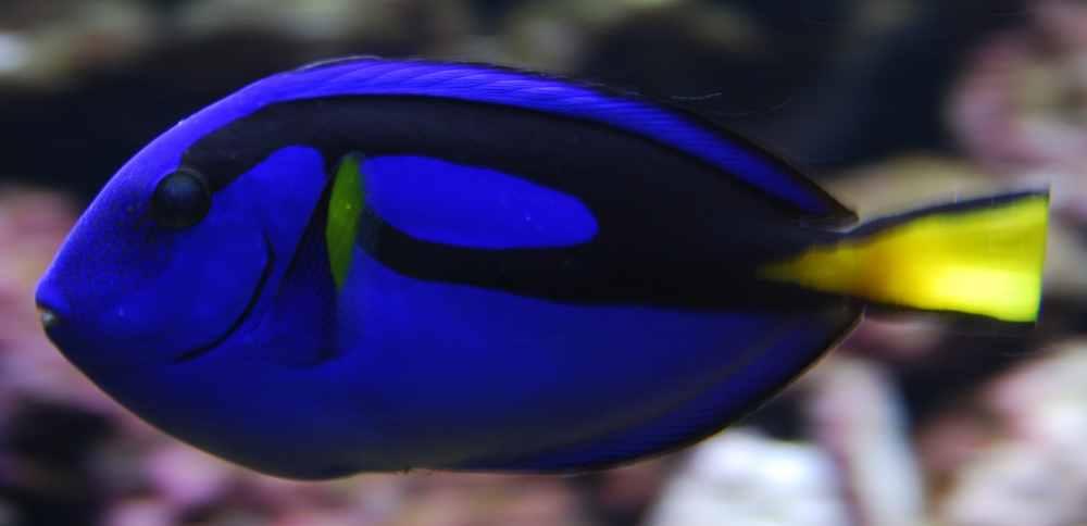 peixe-cirurgiao-paleta_01
