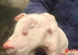 porco-mutante