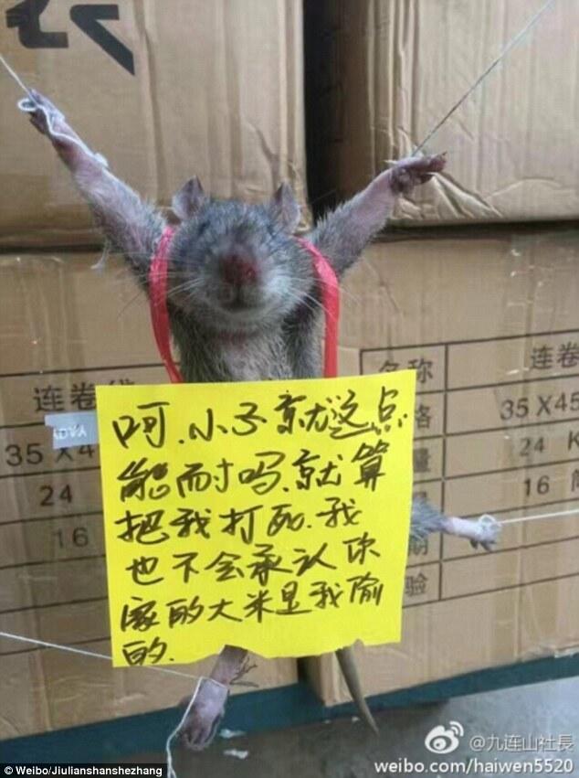rato-e-amarrado-e-humilhado