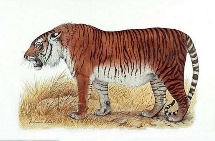 tigre-extinto_02