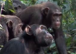chimpanzes-matam-por-falta-de-alimento_01