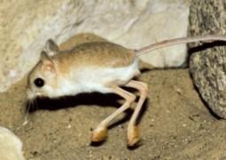 jerboa-metade-canguru-metade-velaciraptor