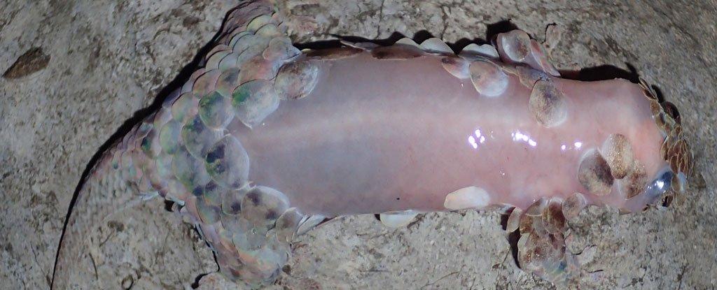 Resultado de imagem para Lagarto-escama-de-peixe