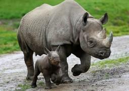rinoceronte-negro_01