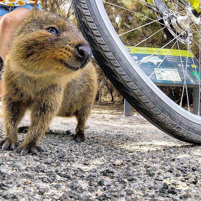 quokka-meets-cyclist-man-australia_3