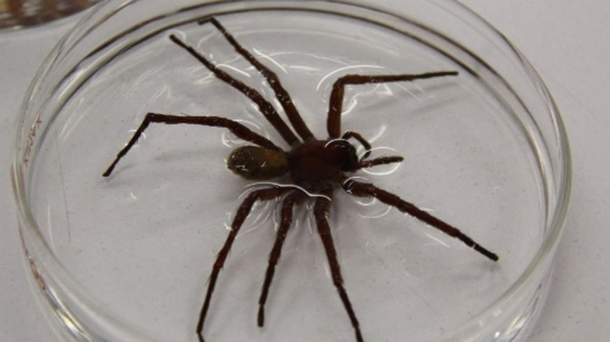 aranha-encontrada-no-mexico-e-tambem-na-america-do-sul-tem-pernas-de-10-centimetros