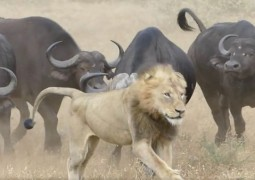 bufalo-salvando-bufalo_5