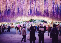 wisteria-festival-japao_04