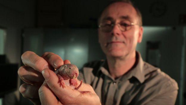 rato-toupeira-pelado-2