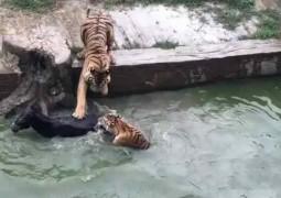 tigre-zoologico