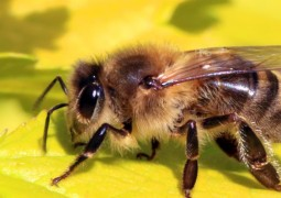 Honey_bee_(Apis_mellifera)