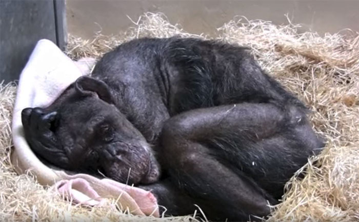 chimpanze-prestes-a-morrer