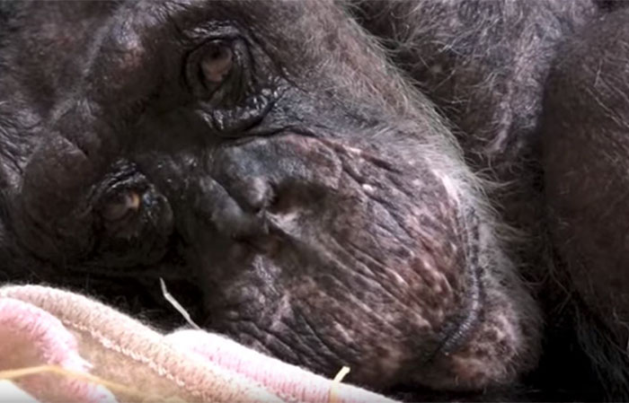chimpanze-prestes-a-morrer_1