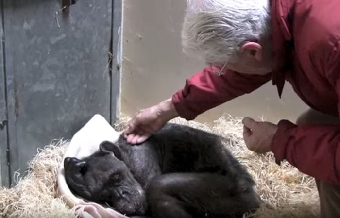 chimpanze-prestes-a-morrer_2