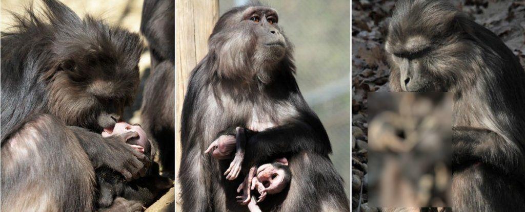 macaca-comendo-filhote-mumificado