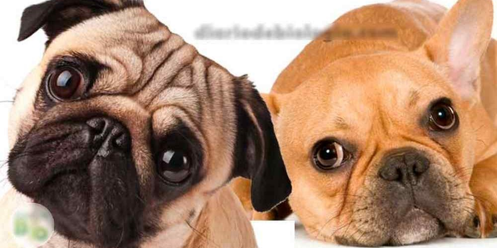 Raças_de_cachorros_da_moda_1