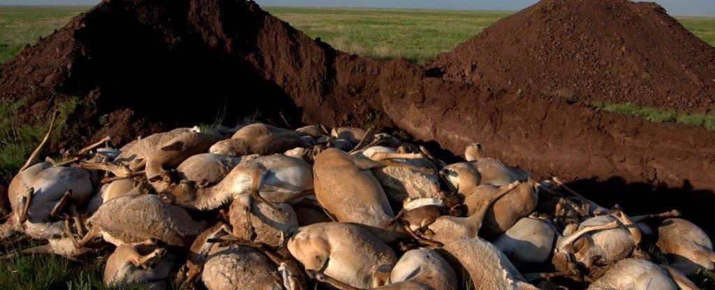 antilopes-mortos