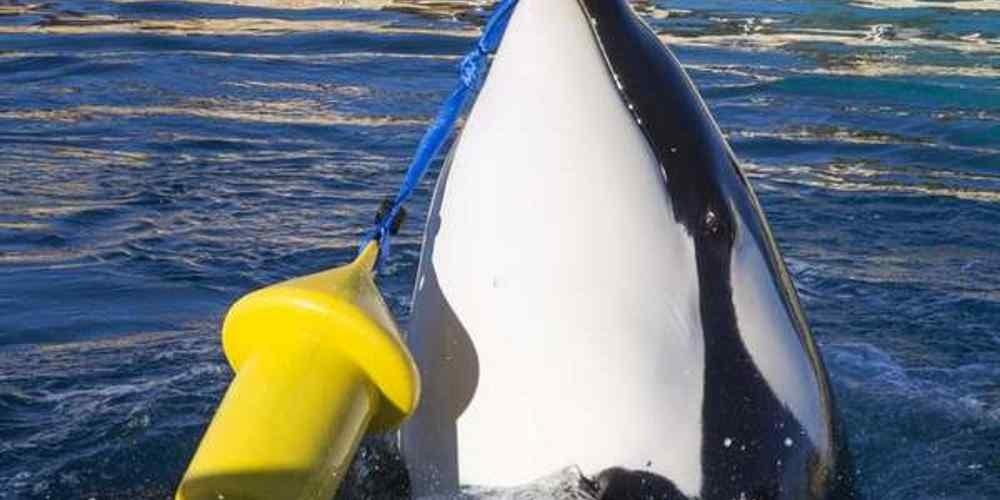 orca-baleia-que-fala