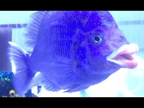 peixe-com-lábios-humanos_1