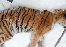 tigresa-selvagem