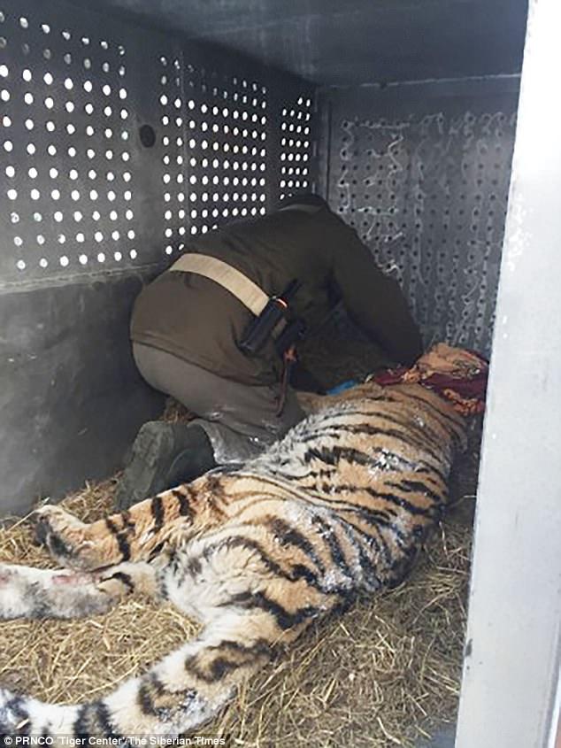 tigresa-selvagem_1
