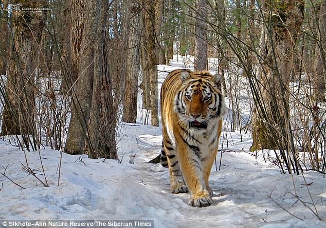 tigresa-selvagem_4